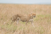 Cheetah - one of five